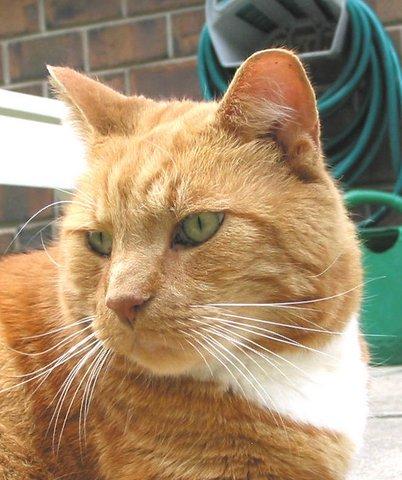 Cat Pumpkin CloseUp Animal.Com2fromMarilyn Swaby2012